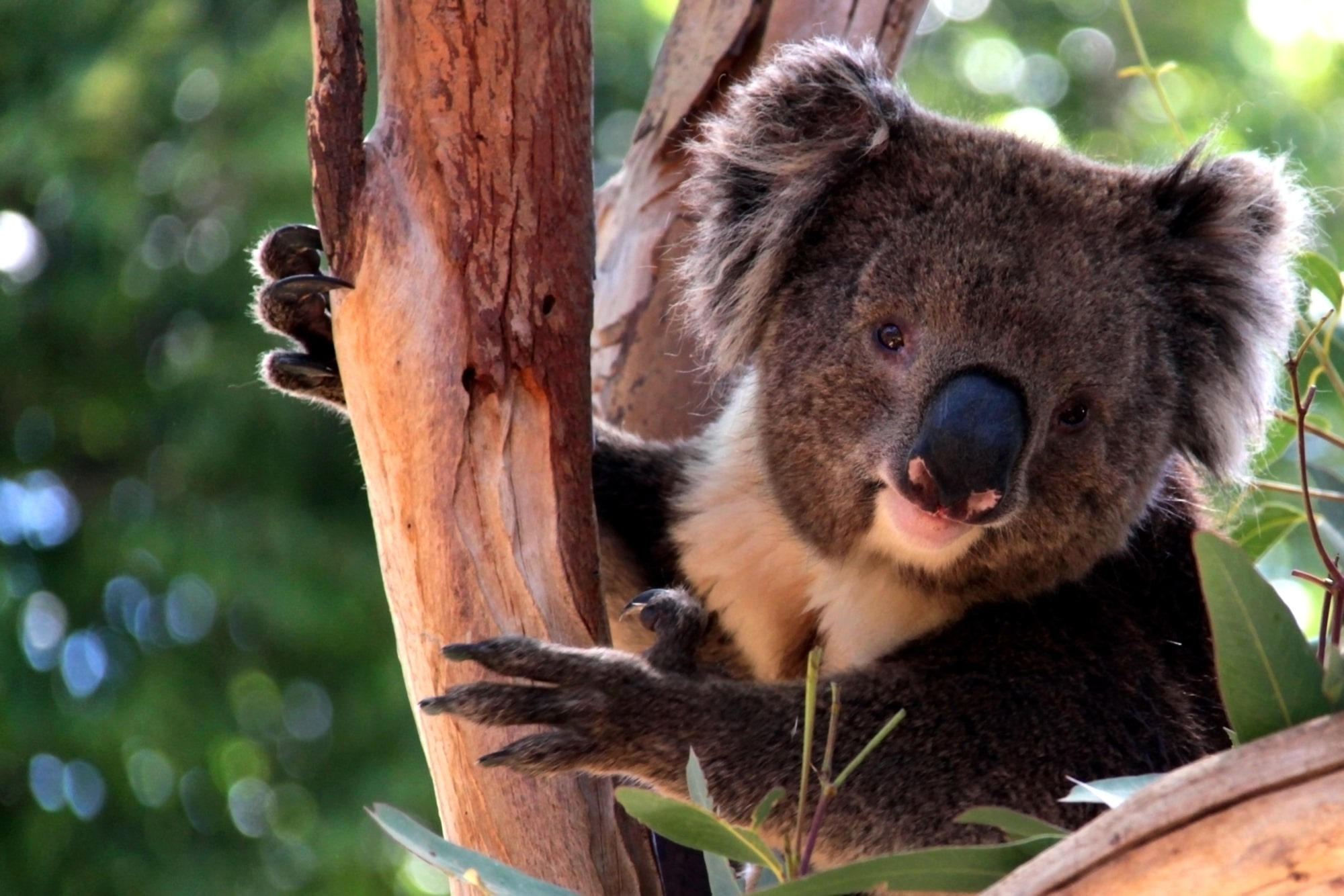 Victorian Koala in Eucalyptus Tree, Adelaide, Australia